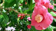 Chiswick House Camellia Festival