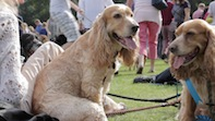 Chiswick Dog Show 2014