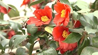 The Camellia Show comes to Chiswick