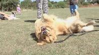 New Chiswick Fun Dog Show At Dukes Meadows