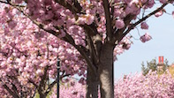 Spring Is Sprung In W4! The Best Cherry Blossoms To See