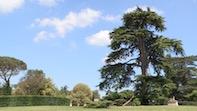 Chiswick House Donates Cedar Saplings