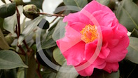 A Fresh Approach To The Camellia Show!